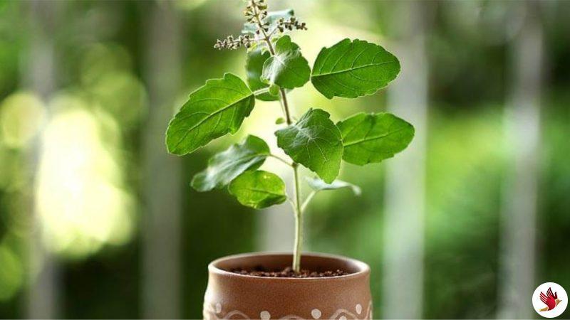 मंदिरों में अब प्रसाद में बंटेंगे पौधे